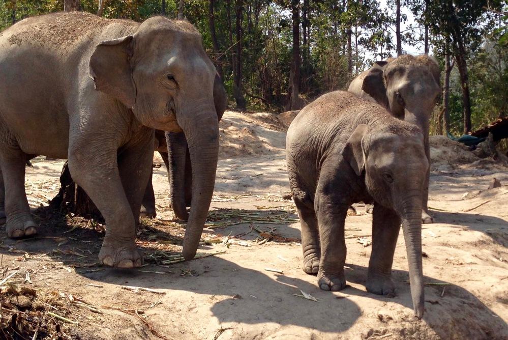 Des éléphants heureux