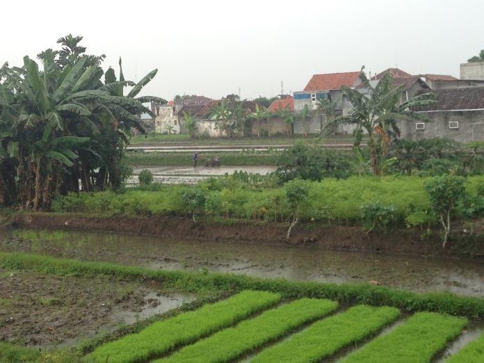 La pluie tombe drue en après-midi dans les rizières bordant notre homestay!