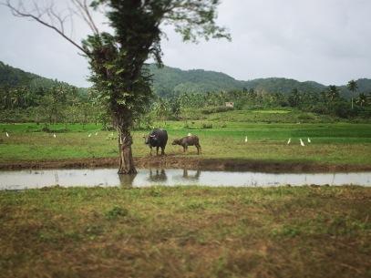 Rizières sur l'île de Siargao, Philippines. Photo Eloise Boies
